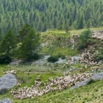 Schafe von weit