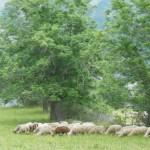 Schafe nebenan
