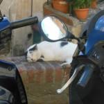 Motorradkatze