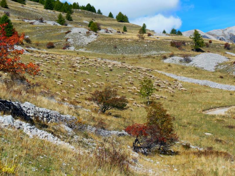Schafe von Ferne