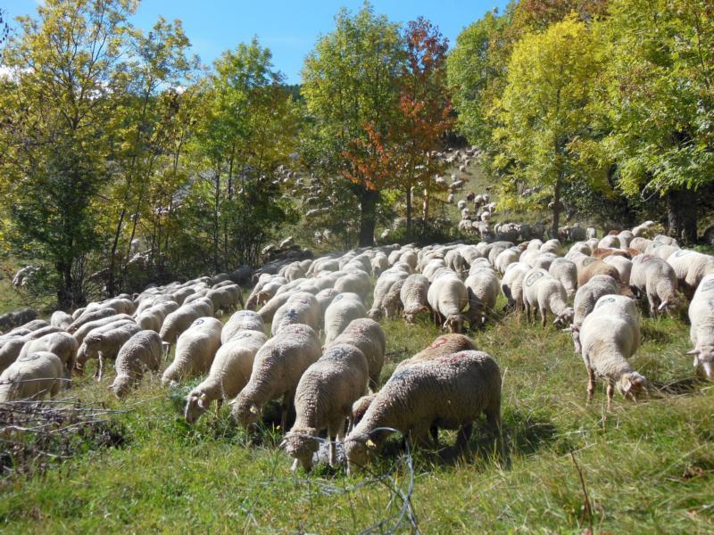 Schafe kommen