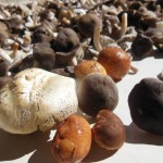diverse Pilze