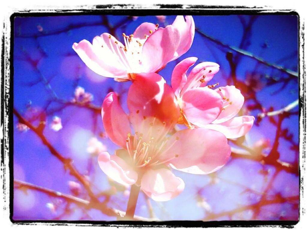 Mandelblüte nah