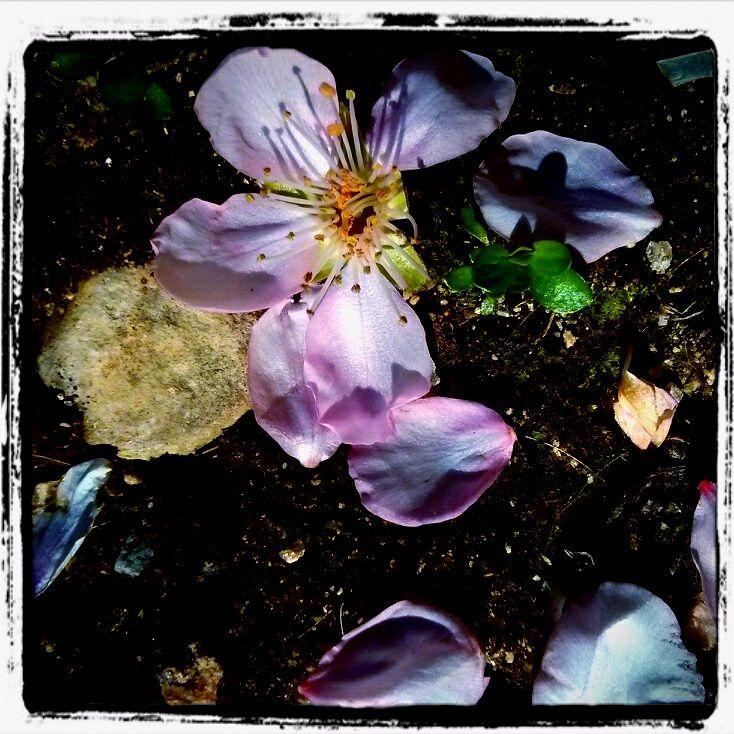 Mandelblüte im Moos