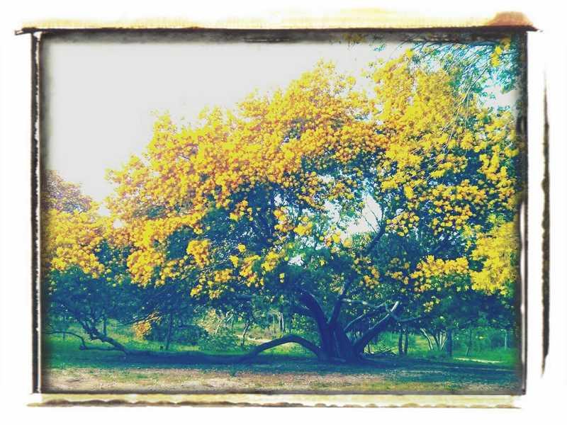 Mimosenbaum