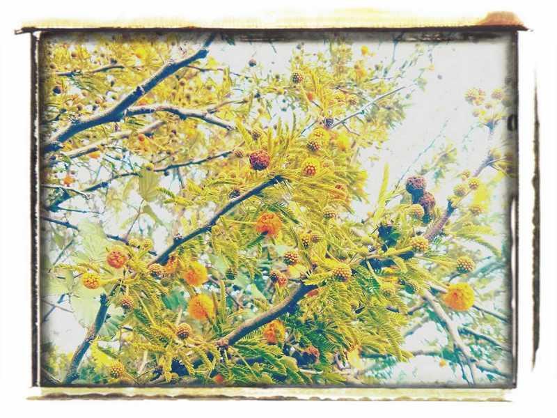 stachelige Mimosen