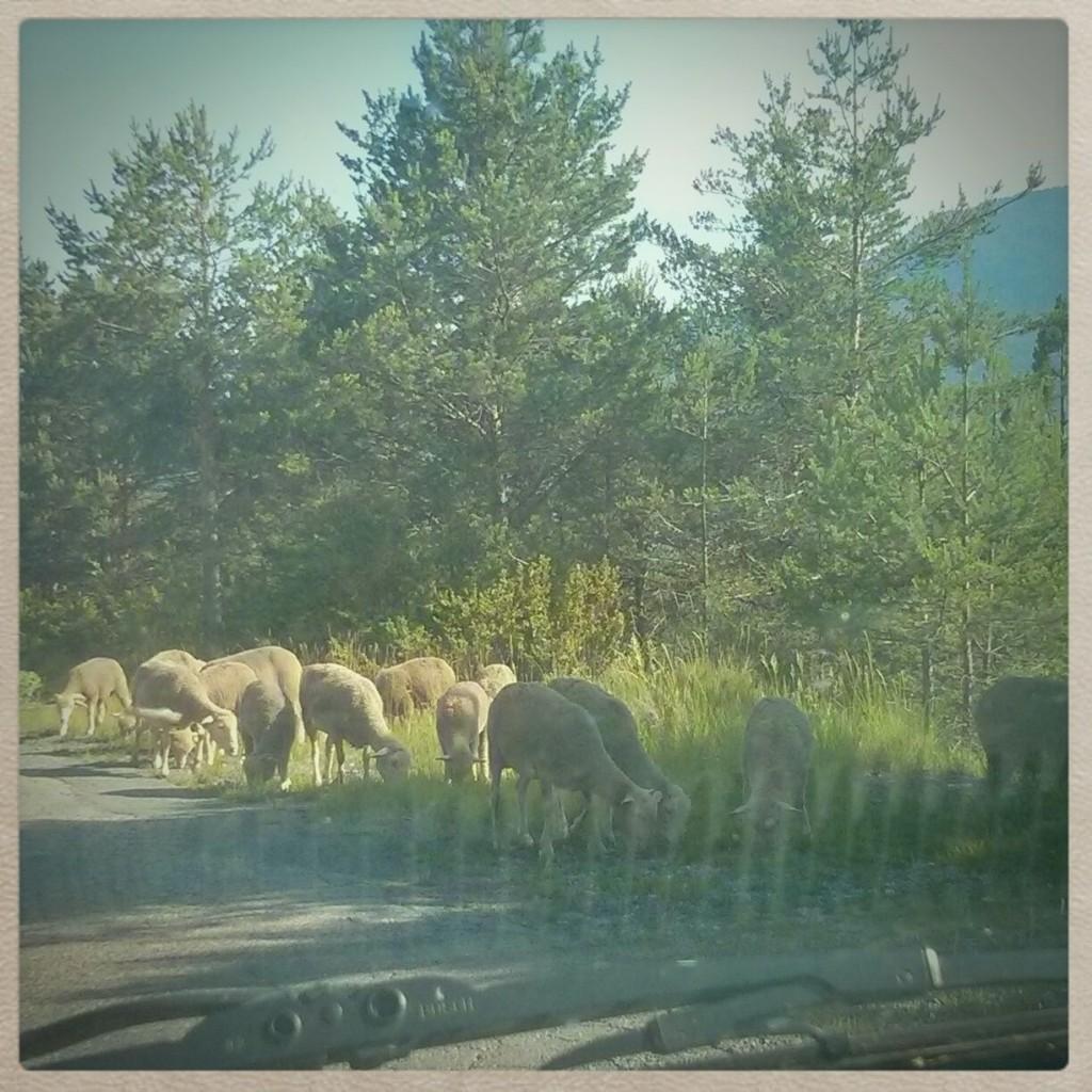 Schafe am Wegrand