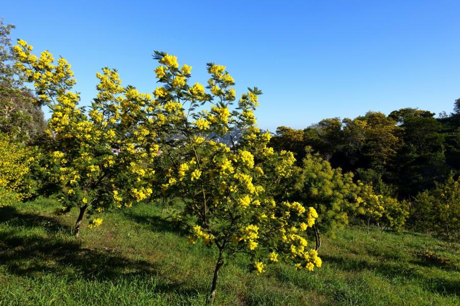 kleine Mimosenbäume