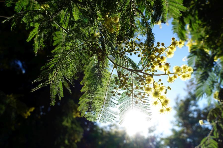 Mimosen Gegelicht